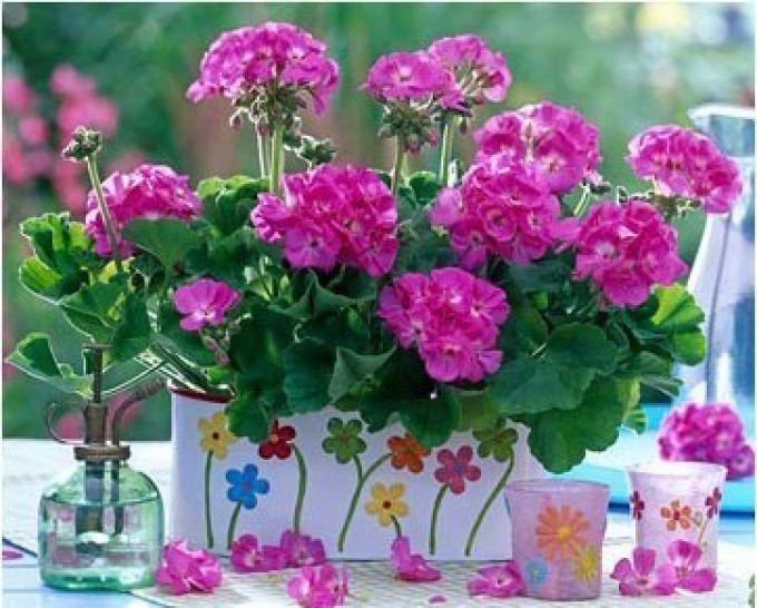 Это растение выращивали даже наши бабушки, в каждом доме можно было встретить пеларгонию.