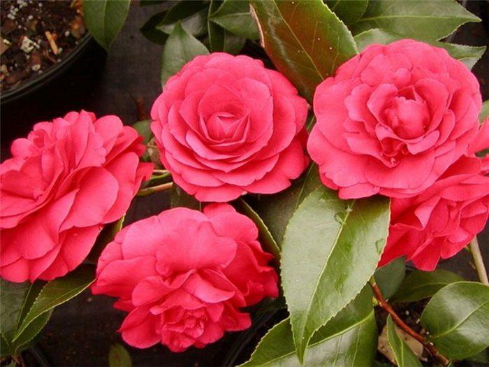 Камелия украсит любое помещение, и сориентирует многих при выборе, какие цветы можно ставить в спальне.
