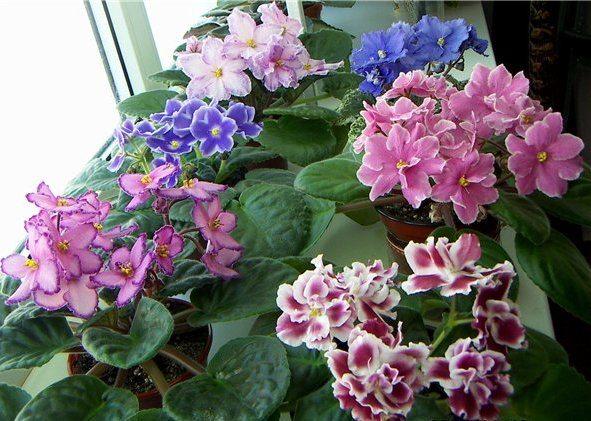 При правильном уходе, фиалки будут радовать вас цветением круглый год.