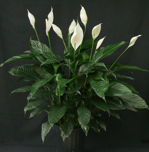 Спатифиллум, даже когда не цветет, приковывает взгляд своей декоративной листвой.
