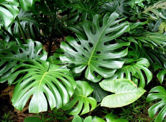 У монстеры очень красивые резные и крупные листья, а лучшее ее место в природе.